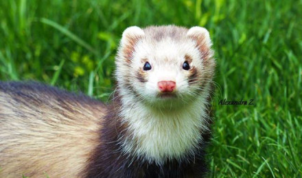 How to choose your ferret?