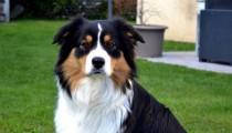 Focus on a breed: the Australian Shepherd