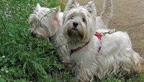 Focus on a breed: the Westie