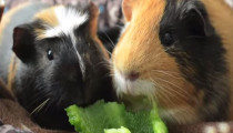 2 adorable guinea pigs fight over a piece of pepper