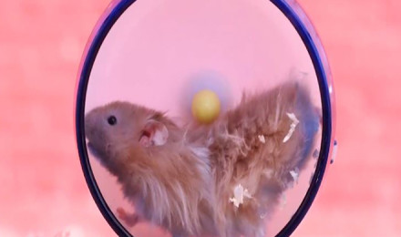 Adorable chubby hamsters in slow motion