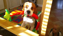 This beagle wants to trade his toy for a yummy breakfast