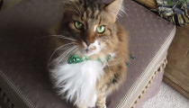 Meet Max, the singing Maine Coon