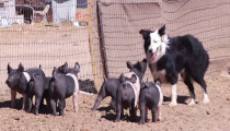 Meet Robert and Sage, the Super Herding Dogs!