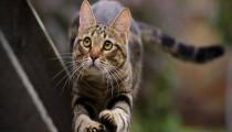Hepatitis in cats