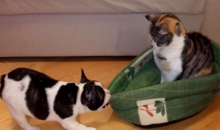 Bulldog pup attempts to get his bed back from cat