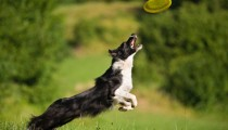 Frisbee dog: the dog sport is making a comeback