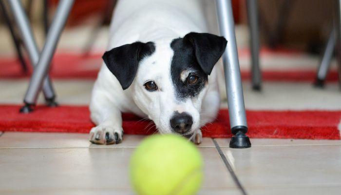 Les diff rents jouets offrir son chien pour no l yummypets - Lance balle automatique chien ...
