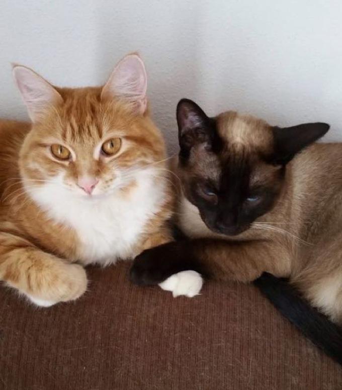 chaton siamois chat roux câlin