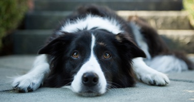border collie laying down