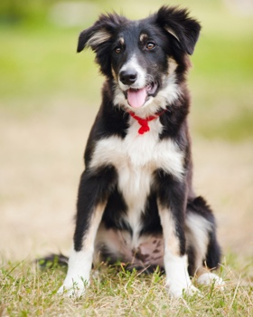 border collie with red scarf