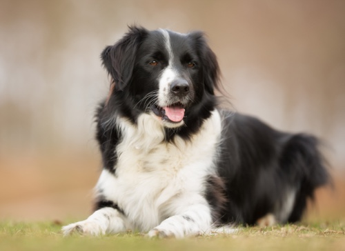 border collie negro y blanco