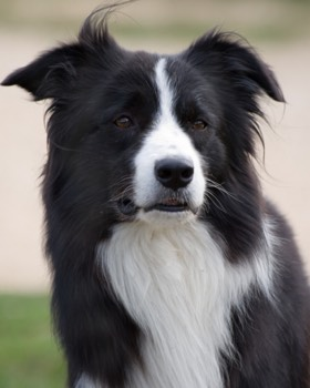 retrato de border collie