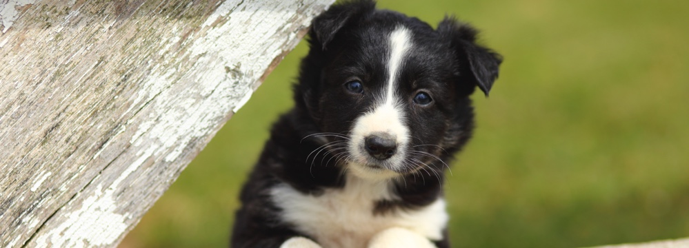 chiot de border collie