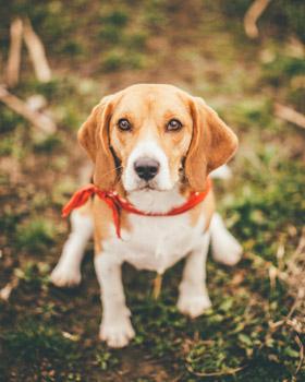 Beagle sentado