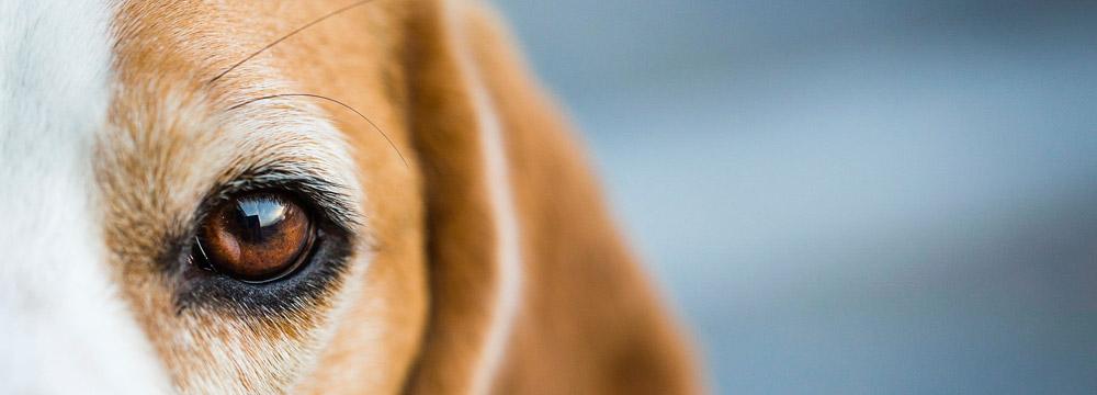 beagle ojo