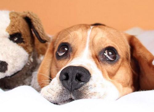 beagle de cara