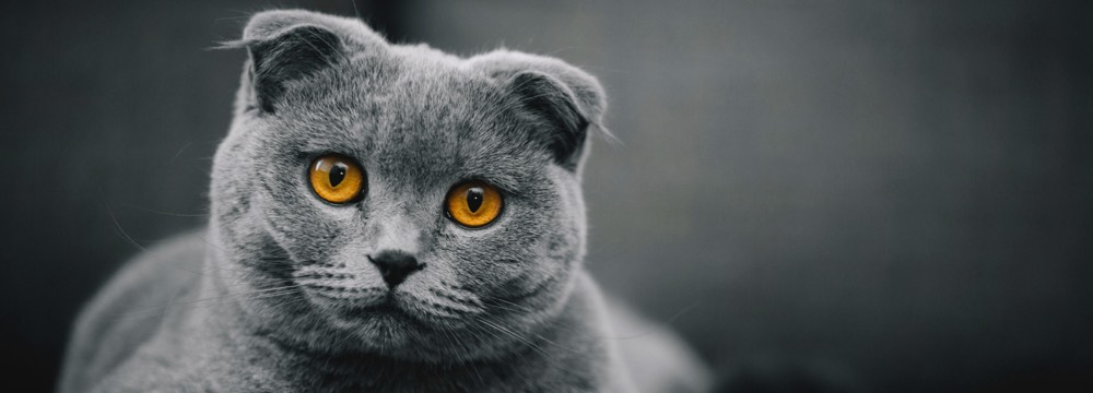 british shorthair de manto azul