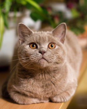 british shorthair con manto marrón