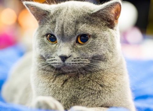 british shorthair with yellow eyes