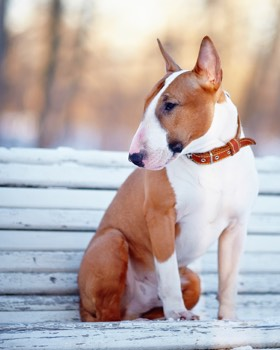 Bull Terrier on a bench