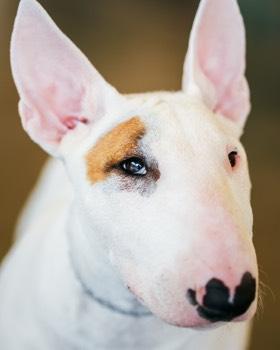 portrait de bull terrier