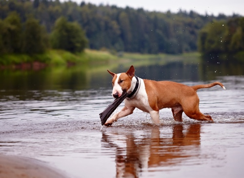Bull Terrier at the lake