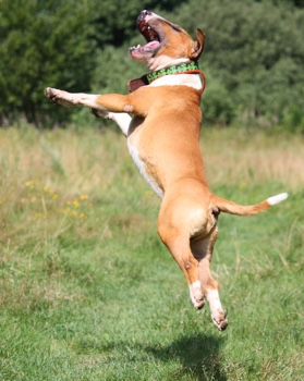 bull-terrier-jumps