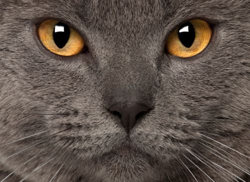 yellow-eyed chartreux