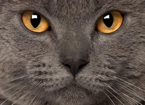 chartreux aux yeux jaunes