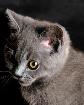 grey chartreux