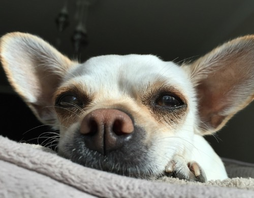 lying down chihuahua
