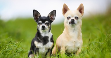 Pareja de chihuahuas