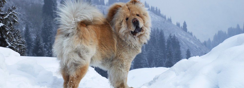 chow-chow in the snow