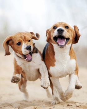 beagle en couple