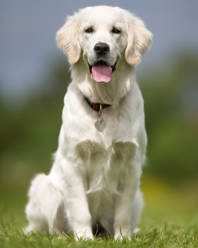 golden retriever blanc