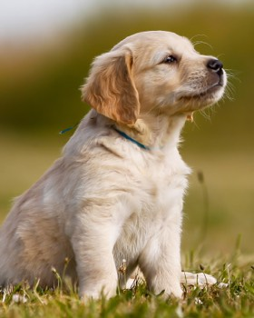 sitting golden retrieve