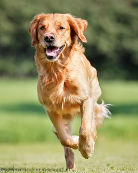 golden retriever en course