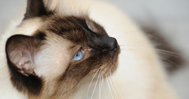 blue eyed Birman