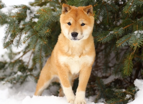 shiba inu en la nieve