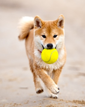 shiba inu con pelota