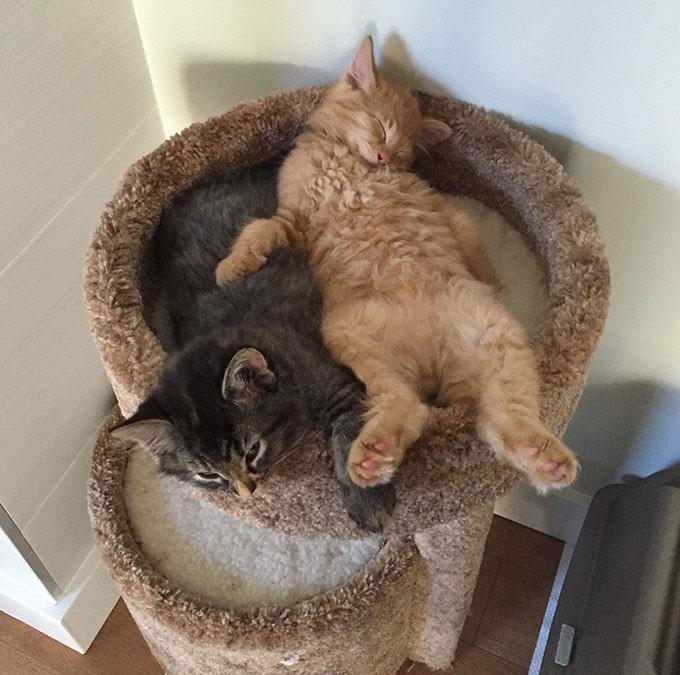 deux chats qui dorment tout le temps ensemble yummypets. Black Bedroom Furniture Sets. Home Design Ideas