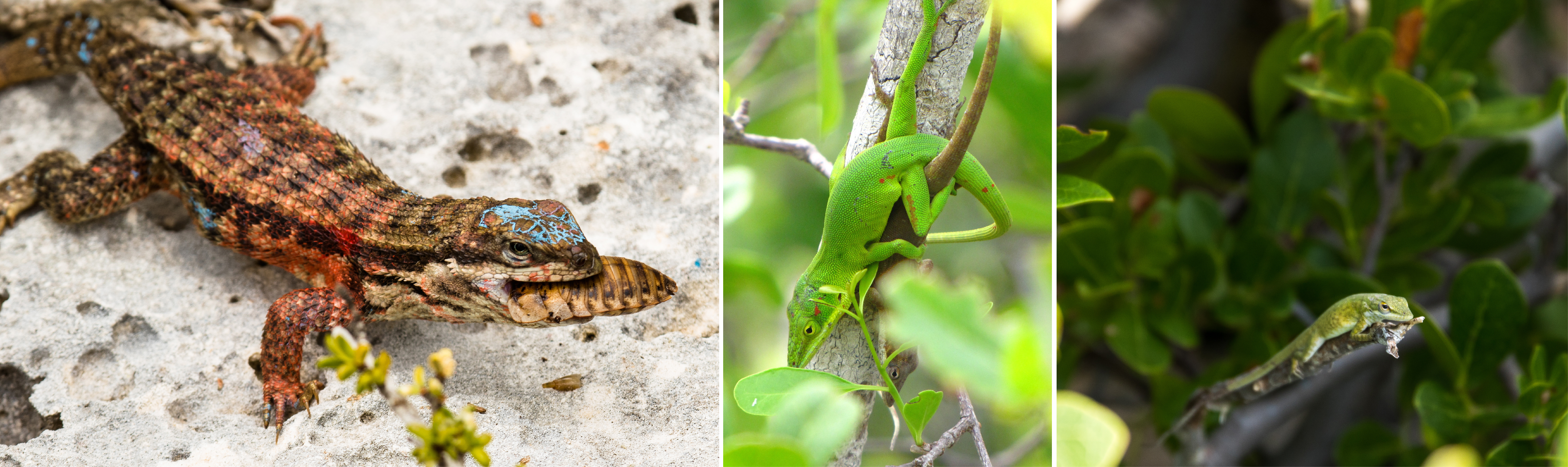 Curly-tail and green anoles