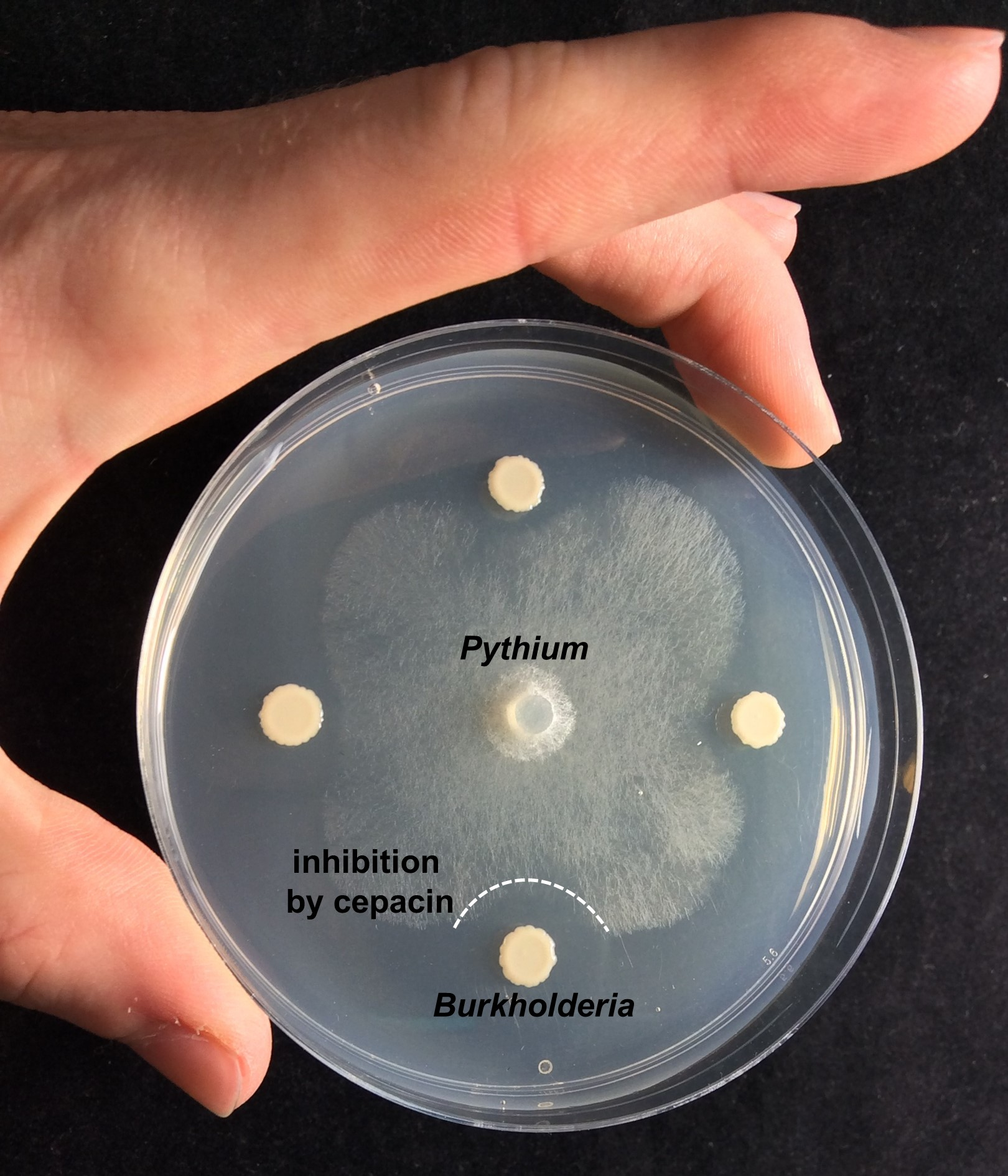 Burkholderia ambifaria inhibiting the plant pathogen Pythium