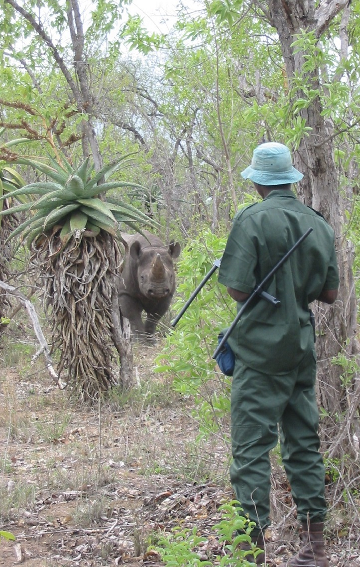 Monitoring black rhino after their reintroduction