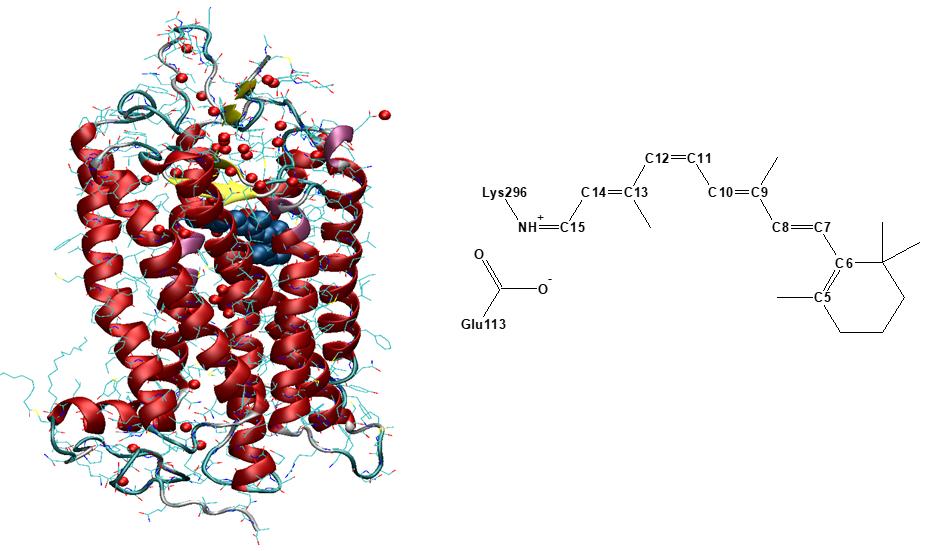 Dim-light visual pigment Rhodopsin