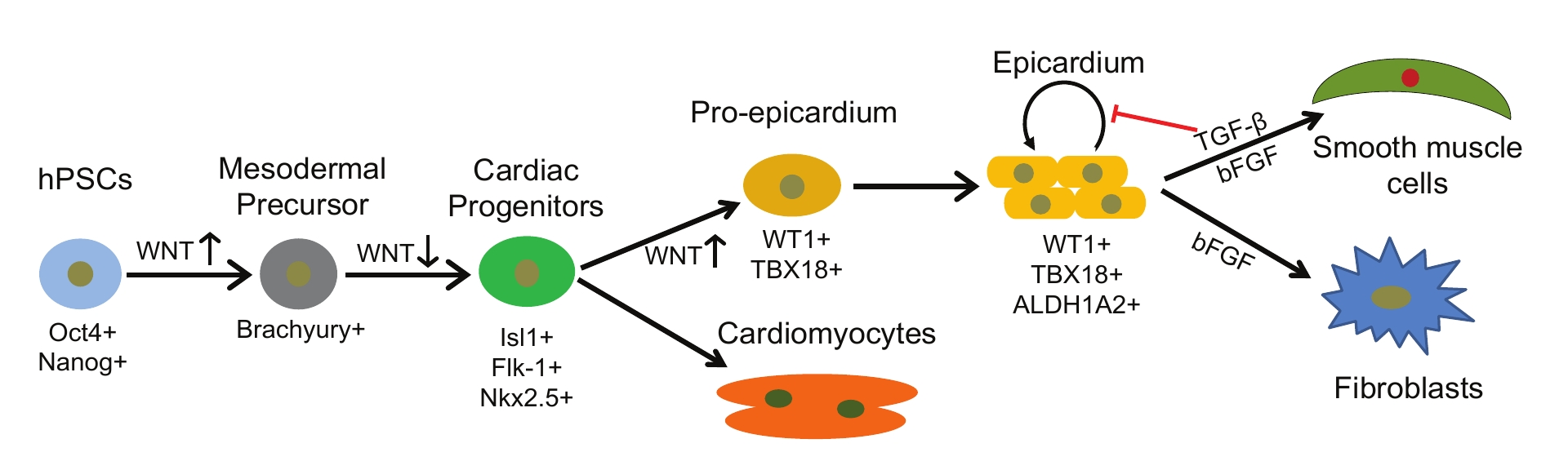 Figure 1. A model highlighting the generation of epicardial cells and cardiomyocytes from human pluripotent stem cells (hPSC) by stage-specific modulation of Wnt signaling, and long-term maintenance of epicardial cells using TGF-β inhibitors. The labels below the cells denote specific markers of corresponding cell types.