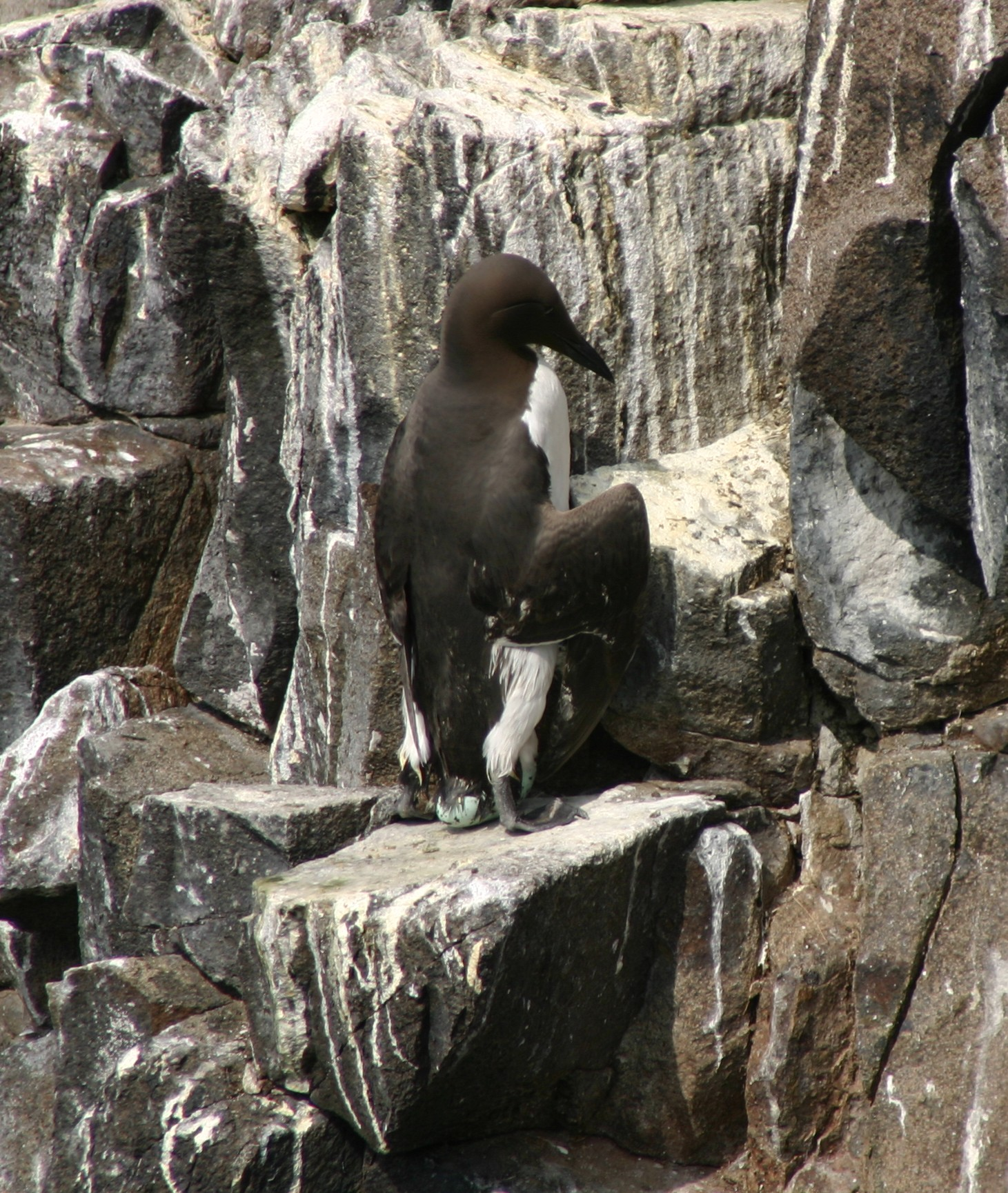 A Common Guillemot (Uria aalge) at the moment that the large single egg is laid. The timing of breeding of this species was followed for 19 consecutive years on the Isle of May, southeast Scotland. Photo credit: M P Harris