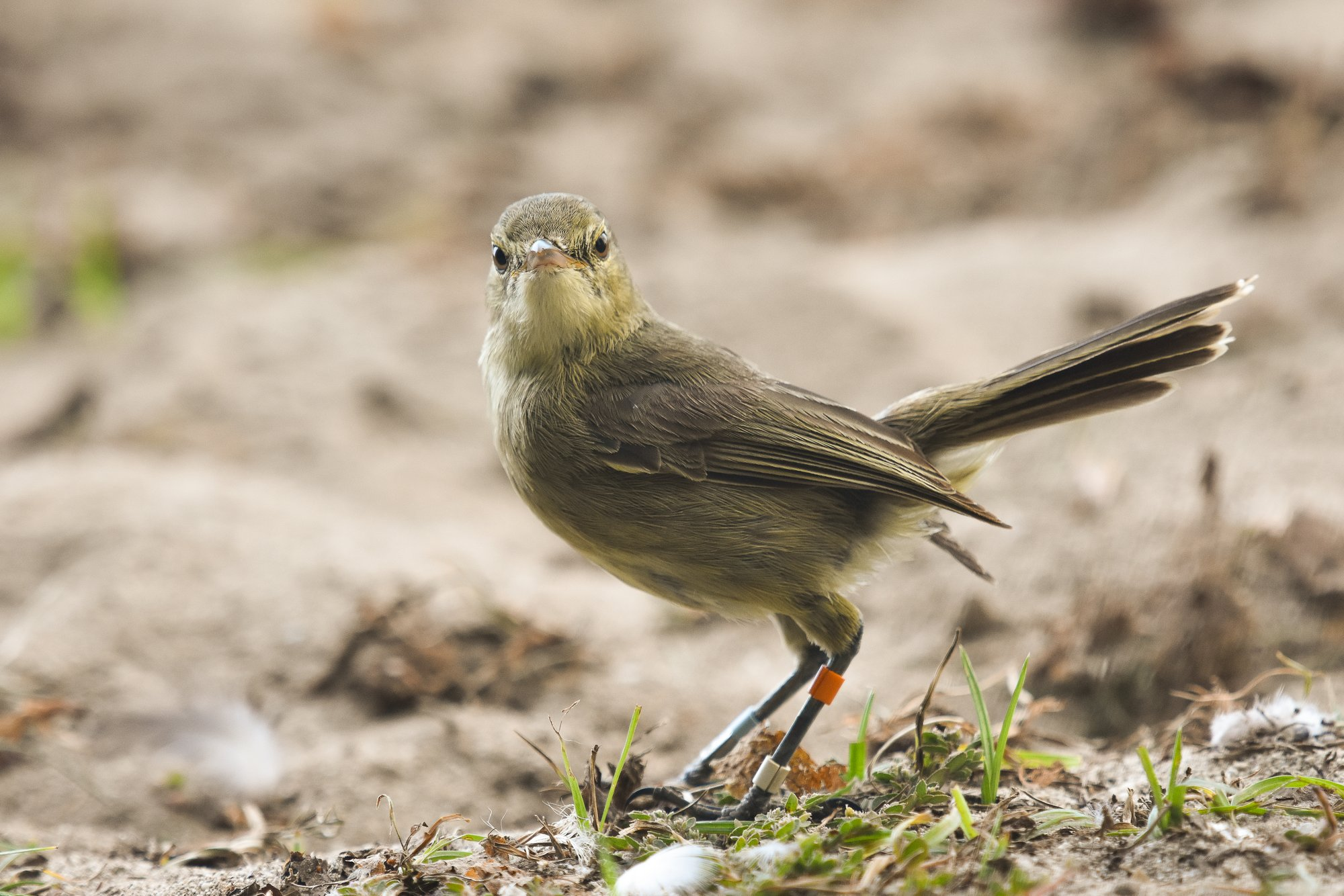 Female birds that receive help with parental care age more slowly