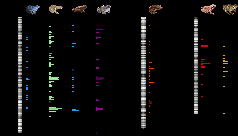 Sex linked markers on Frog sex chromosomes